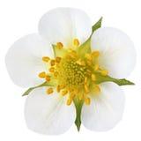 Цветок клубники изолированный на белизне Стоковые Изображения