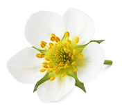 Цветок клубники изолированный на белизне Стоковое Изображение