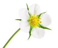 Цветок клубники конца-вверх изолированный на белой предпосылке Стоковые Изображения RF