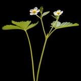 Цветок клубники сада изолированный на черноте Стоковые Изображения RF