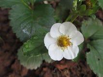 Цветок клубники Стоковая Фотография