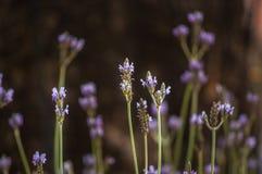 Цветок лаванды в саде Стоковое Изображение