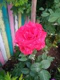 Цветок лета зацветая поднял стоковые фотографии rf
