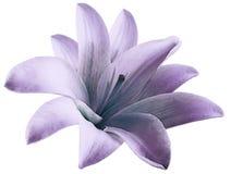 Цветок лилии акварели пурпурный изолированный с путем клиппирования на белой предпосылке Для конструкции closeup иллюстрация вектора
