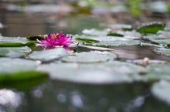 Цветок лилии воды в пруде Стоковые Изображения
