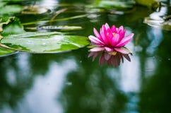 Цветок лилии воды в пруде Стоковые Фото