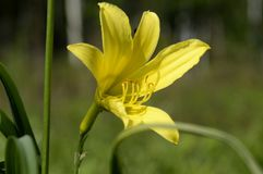 Цветок лилии желтый blossomed стоковое фото rf