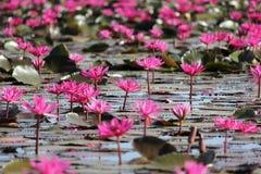 Цветок лилии красной воды в пруде Стоковые Фото
