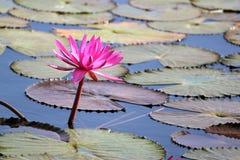 Цветок лилии красной воды в пруде Стоковые Изображения RF