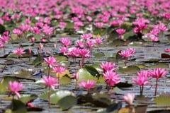 Цветок лилии красной воды в пруде Стоковое фото RF