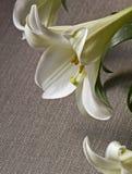 Цветок лилии пасхи на серой предпосылке холста Стоковая Фотография RF