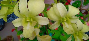 Цветок лилии Шри-Ланка стоковые фотографии rf