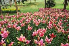 Цветок лилии стоковые изображения