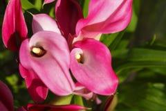Цветок лилии Calla стоковые изображения