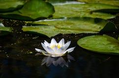 Цветок лилий белой воды рядом с большими зелеными листьями в окружающей среде стоковое фото