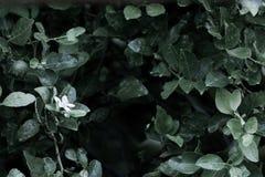Цветок лимона в органическом саде стоковые изображения