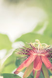 Цветок лозы страсти Стоковые Изображения
