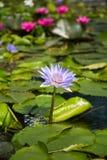Цветок лотоса в пруде на фронте залива Марины, Сингапуре Стоковое Изображение RF