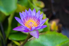 Цветок лотоса в пруде на фронте залива Марины, Сингапуре Стоковое Изображение