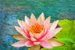 Цветок лотоса в пруде Стоковое фото RF