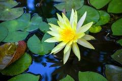 Цветок лотоса в тазе стоковое фото rf