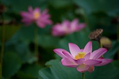 Цветок лотоса зацветая в зеленом поле Стоковое Фото