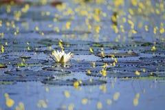 Цветок лотоса и воды стоковое изображение rf