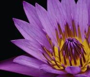 Цветок лотоса и черная предпосылка стоковая фотография rf