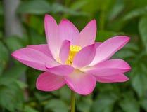 Цветок лотоса, Малайзия стоковые фото