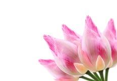 Цветок лотоса на белой предпосылке Стоковая Фотография RF