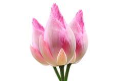 Цветок лотоса на белой предпосылке Стоковое Изображение RF
