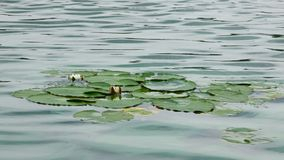 Цветок лотоса на воде акции видеоматериалы