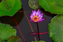 Цветок лотоса окруженный большим зеленым цветом выходит Таиланд стоковое изображение
