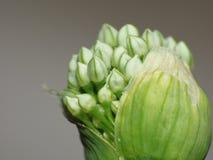 Цветок лука макроса/завод летом сада средним - конец вверх по съемке цветка, фото принятого в Великобританию стоковая фотография rf