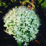 Цветок лука стоковое изображение rf