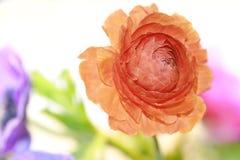 цветок лютика Стоковое фото RF