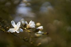 Цветок магнолии в цветении стоковые фотографии rf