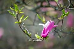 Цветок магнолии на ветви дерева на запачканной предпосылке стоковое фото rf