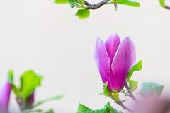 Цветок магнолии blossoming на белой предпосылке стоковые изображения