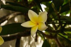 Цветок магнолии на дереве Стоковые Изображения