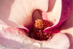 Цветок магнолии после дождя Стоковые Фото