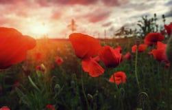 Цветок мака бутона одичалый на заходе солнца Стоковые Фото