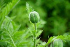 Цветок мака бутона Стоковое фото RF