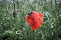 Цветок мака в поле Ненастное day_ лета Стоковые Фотографии RF
