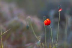 Цветок мака в поле Стоковая Фотография RF