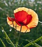 Цветок мака в лужке Стоковое Изображение RF