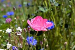 Цветок мака в цветени в поле Wildflower Стоковая Фотография RF