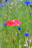 Цветок мака в цветени в поле Wildflower Стоковая Фотография