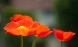 Цветок мака мака на предпосылке зеленых листьев Стоковые Изображения RF