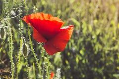 Цветок мака на предпосылке зеленой травы на солнечном day_ лета Стоковое Изображение